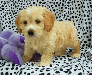 Cockapoo Puppies for sale in Florida