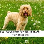 Cockapoo Puppies in Texas