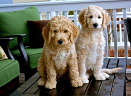 Cockapoo Puppies for sale in Virginia