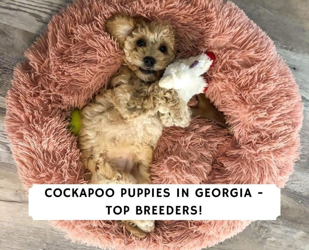 Cockapoo puppies in Georgia