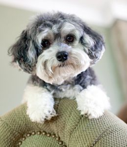 Common Maltipoo Health Issues