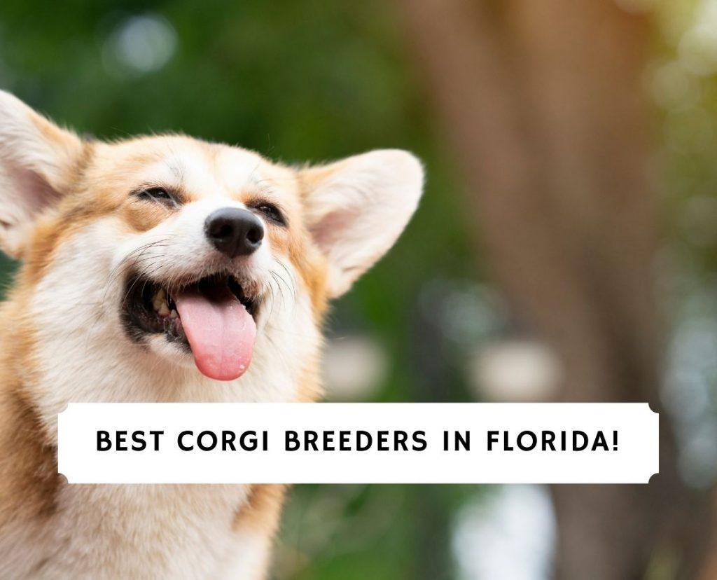 Corgi Breeders in Florida