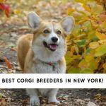 Corgi Breeders in New York