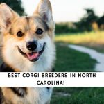 Corgi Breeders in North Carolina