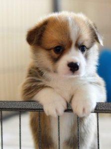 Corgi Puppies For Sale in New York