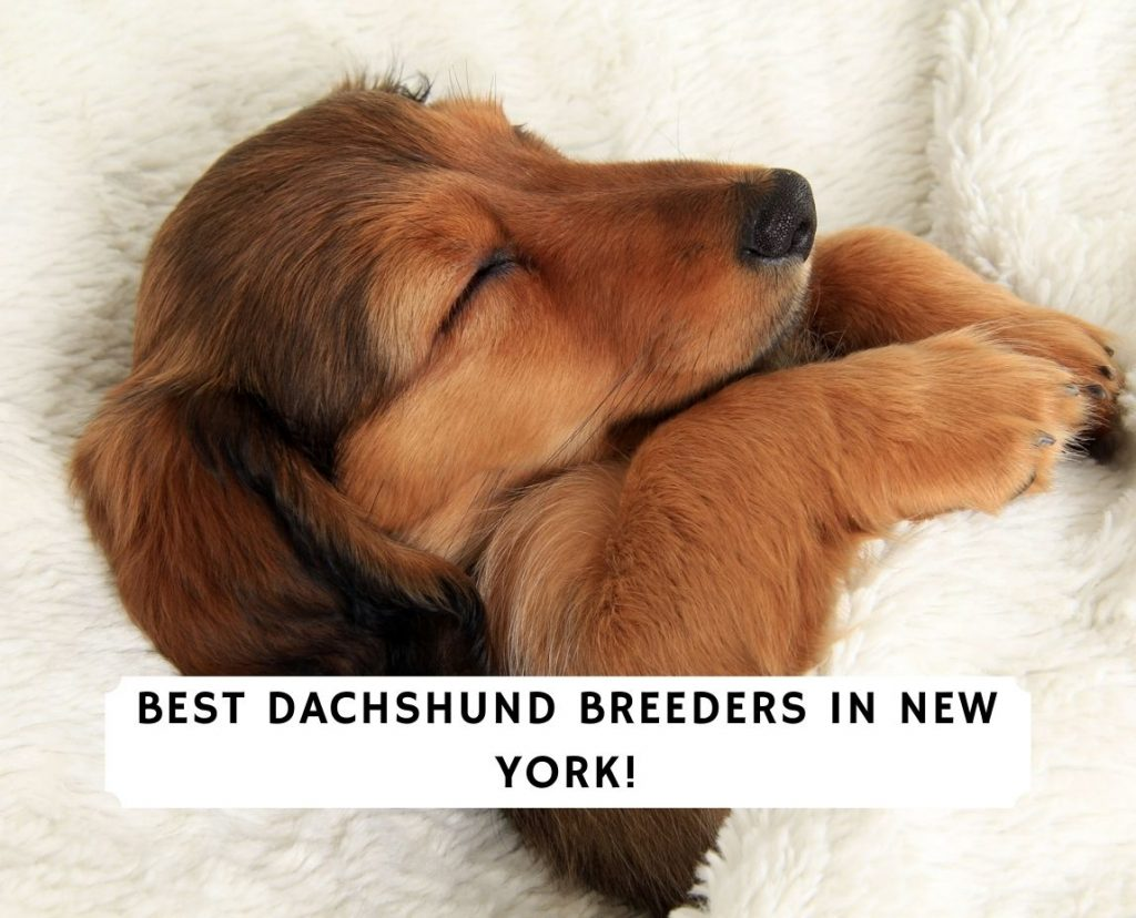 Dachshund Breeders in New York