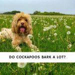 Do Cockapoos Bark a Lot