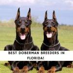 Doberman Breeders in Florida