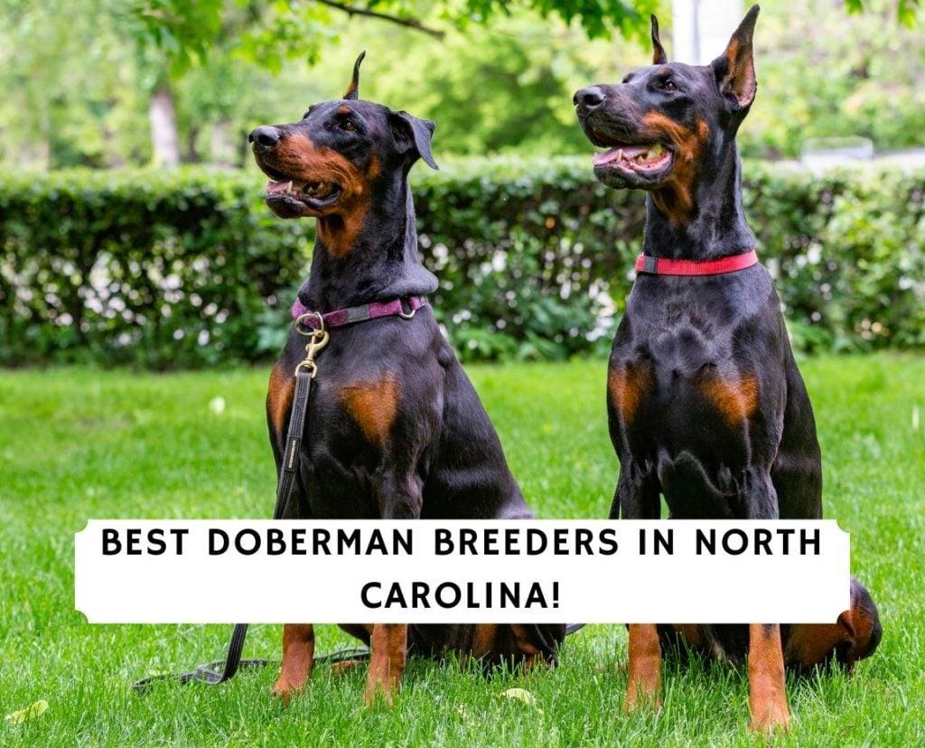 Doberman Breeders in North Carolina