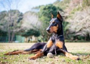Doberman puppies for sale in North Carolina