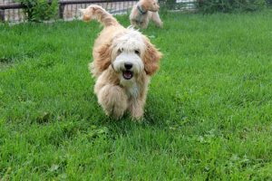 EllsWORTH Labradoodles LLC