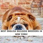 English Bulldog Breeders in New York