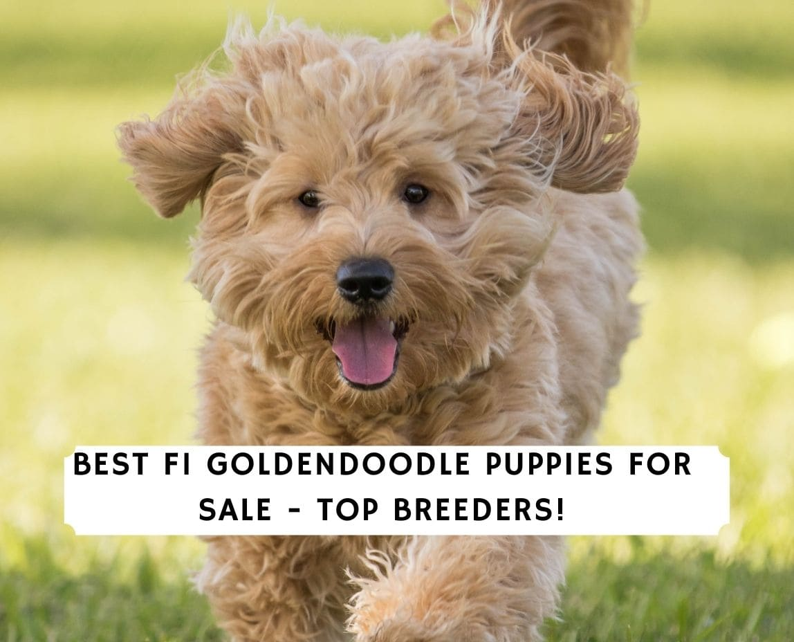 F1 Goldendoodle Puppies For Sale