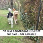F1B Mini Goldendoodle Puppies for Sale