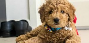 F1B Mini Goldendoodle breeders