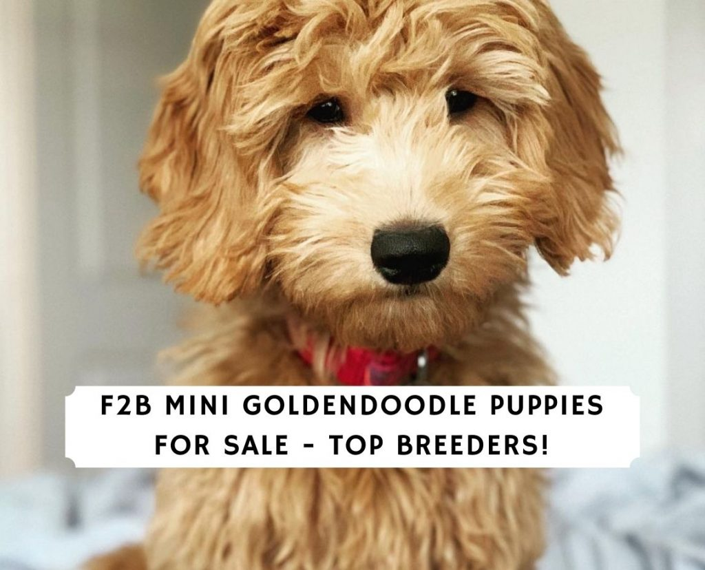 F2B Mini Goldendoodle Puppies for Sale