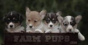 Farm Pups