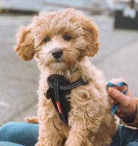Find Ways For Your Cockapoo To Exercise