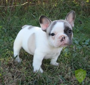 French Bulldog Breeders in Florida