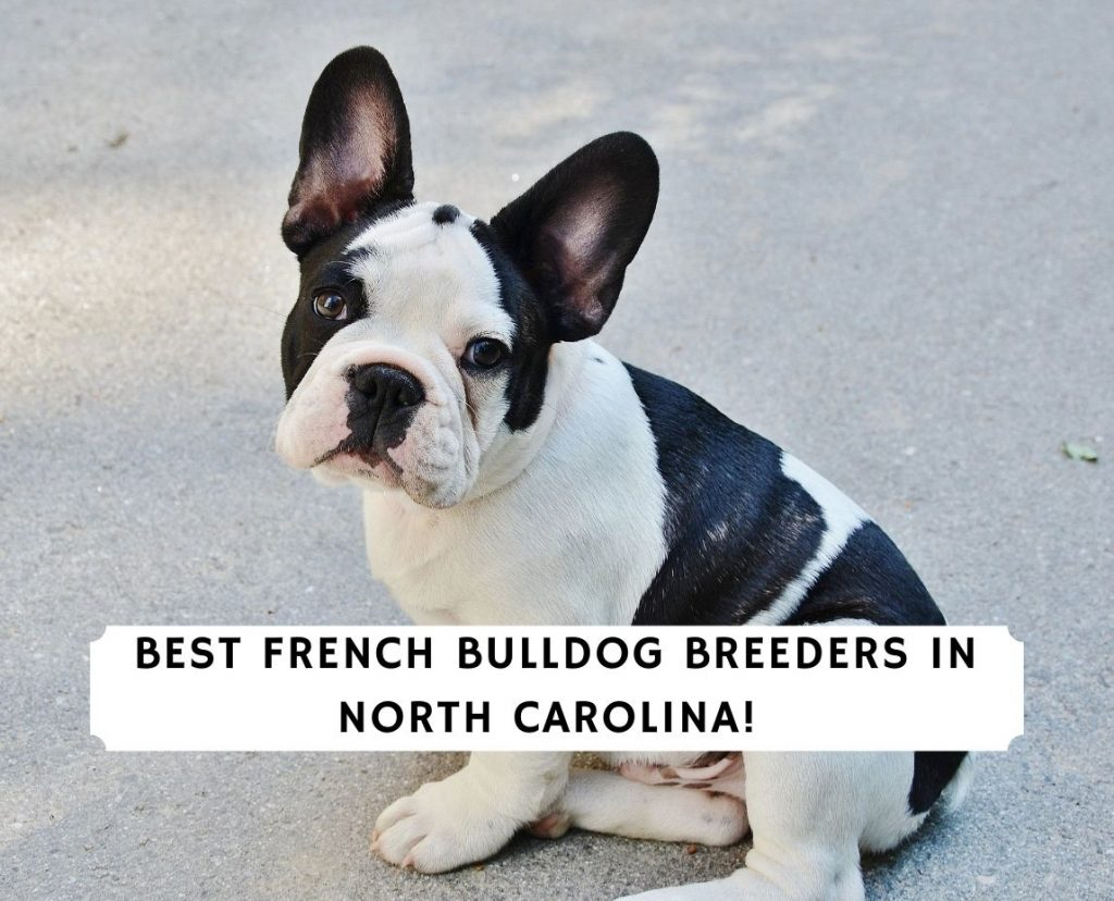 French Bulldog Breeders in North Carolina