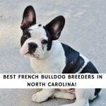 French Bulldog Breeders in North Carolina