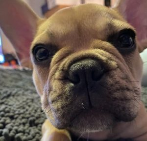 French Bulldog Puppies For Sale in North Carolina