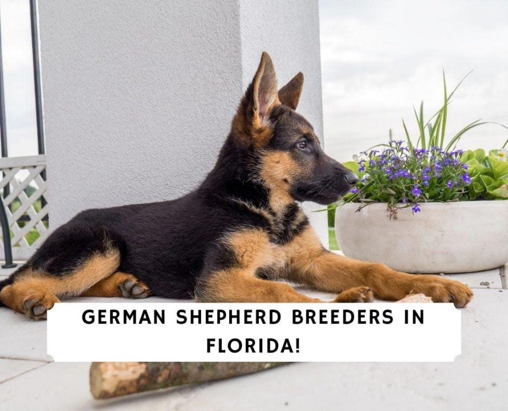 German Shepherd Breeders in Florida