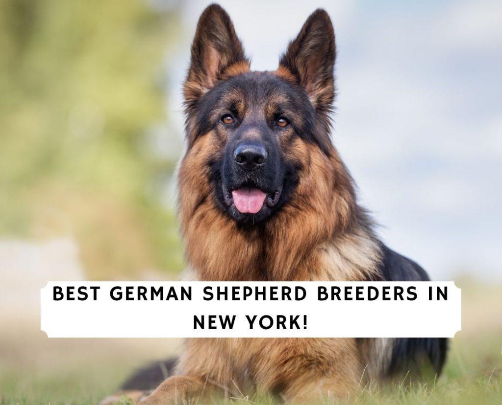 German Shepherd Breeders in New York