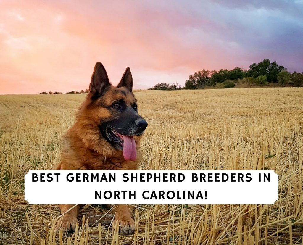 German Shepherd Breeders in North Carolina