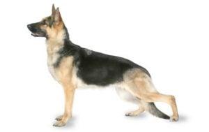 German Shepherd Features
