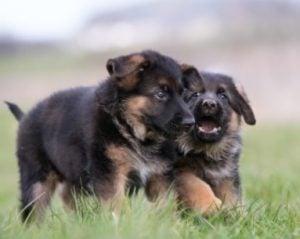 German Shepherd Puppies For Sale In New York