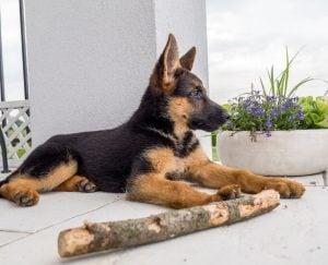 German puppies in Florida