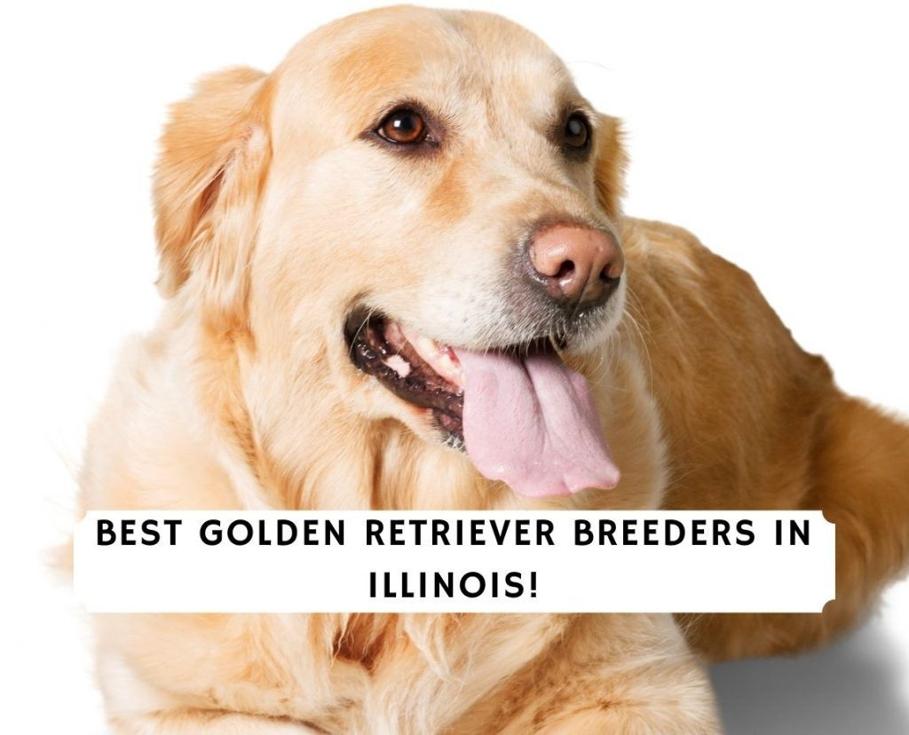 Golden Retriever Breeders in Illinois