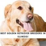 Golden Retriever Breeders in Illinois