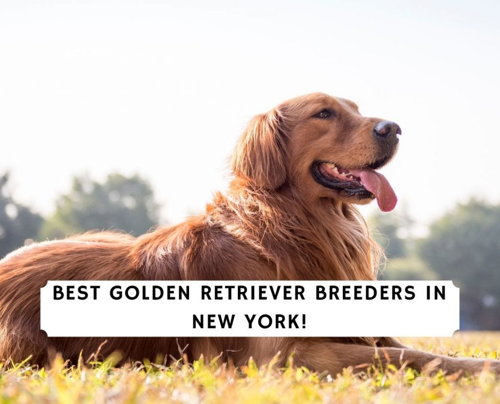 Golden Retriever Breeders in New York