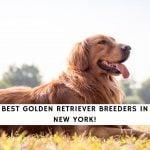 Golden Retriever Breeders in New York