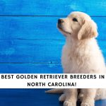 Golden Retriever Breeders in North Carolina