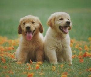 Golden Retriever Puppies For Sale in North Carolina