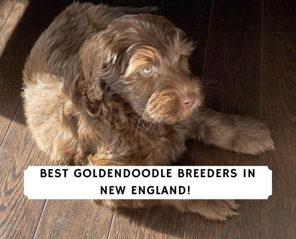 Goldendoodle Breeders in New England