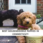 Goldendoodle Puppies in Connecticut