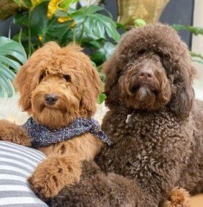 Goldendoodle Puppies for sale in Nebraska