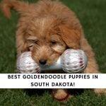 Goldendoodle Puppies in South Dakota