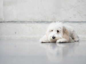 Goldendoodle Puppies for sale in South Dakota
