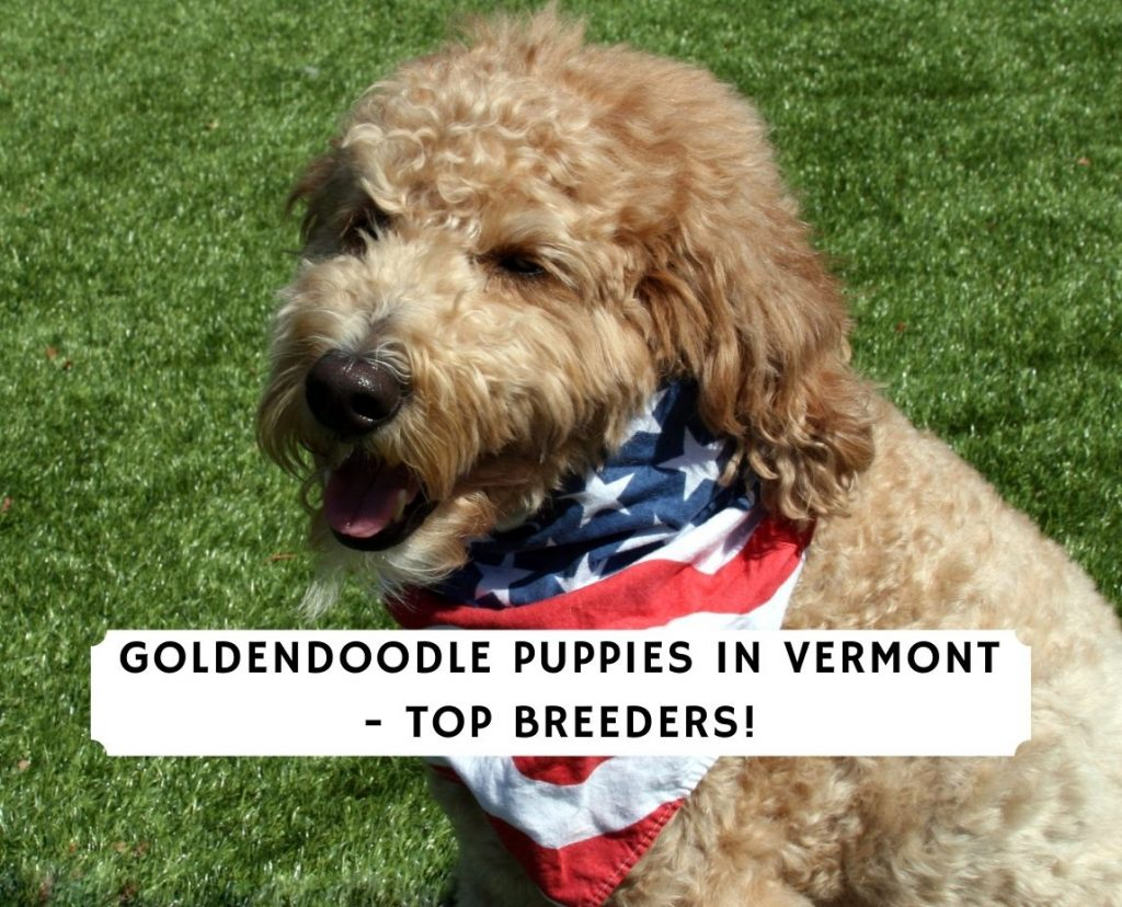 Goldendoodle Puppies in Vermont