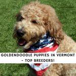 Goldendoodle Puppies in Vermont