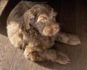 Goldendoodle puppies New England