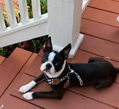 Grissel's Boston Terrier