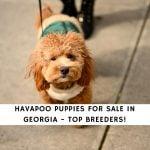 Havapoo Puppies For Sale in Georgia