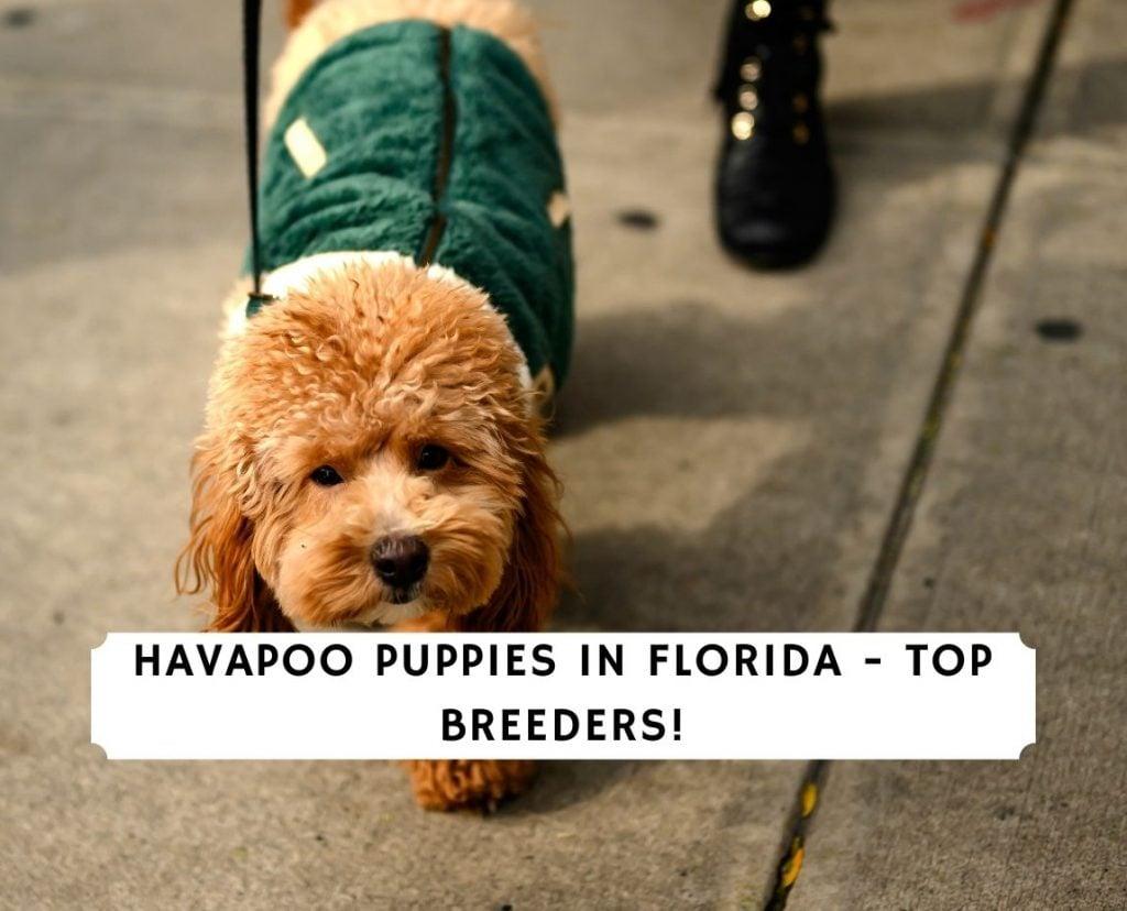 Havapoo Puppies in Florida