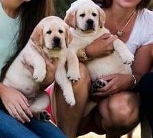 Horne's Labradors